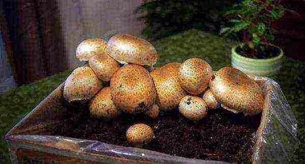 Выращивание грибов на бревнах. мастер-класс с фото на supersadovnik.ru