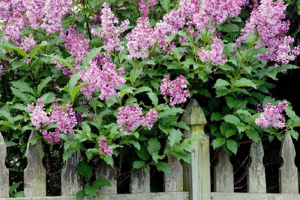 Что делать, если сирень в саду не цветет