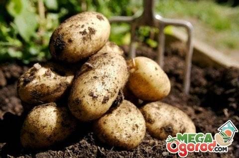 Картофельная нематода: что это, чем опасна и как бороться | все о паразитах