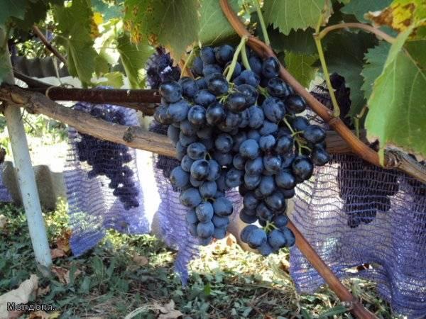 """Виноград """"фурор"""": описание сорта, фото, отзывы"""