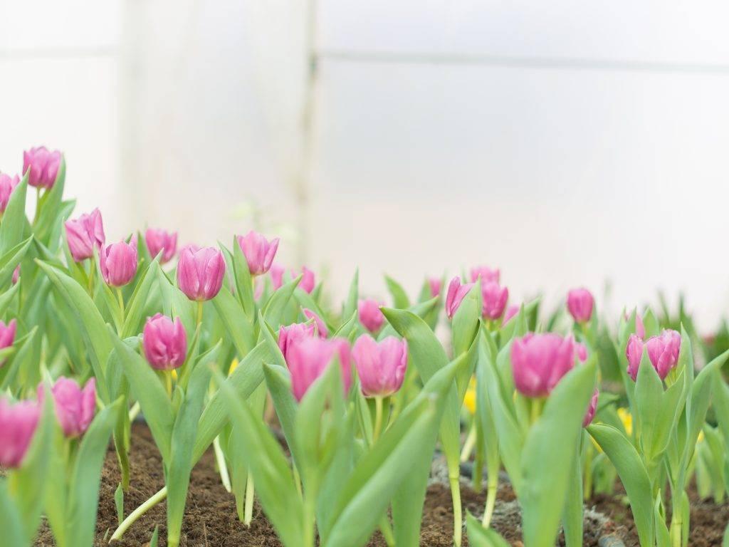 Сроки и правила пересадки тюльпанов