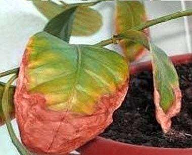 Есть вопрос: почему у комнатных растений желтеют листья и как с этим бороться?