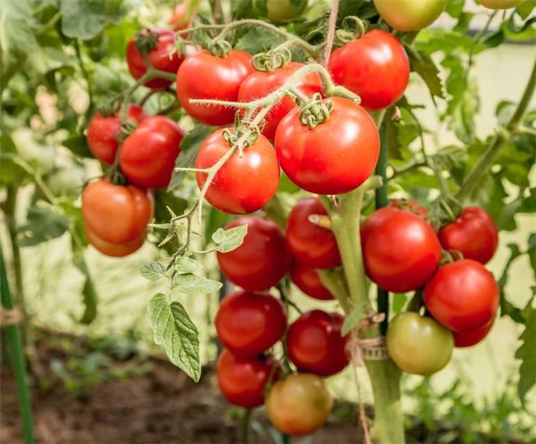 Томат «ричи» f1: описание сорта и рекомендации по выращиванию помидоры русский фермер