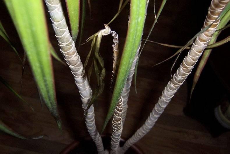 Почему драцена сбрасывает листья: основные причины, что при этом делать, как её спасти - ваш дачный участок