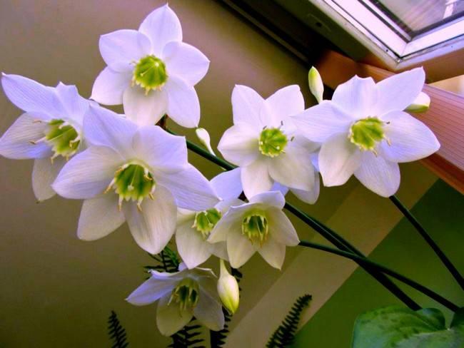 Эухарис (амазонская лилия) не цветет, а также другие проблемы неприхотливого растения