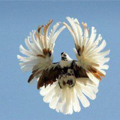 Голуби свердловские высоколётные: описание, фото, уход и содержание