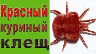 Куриный клещ: заболевания, которые провоцирует паразит. симптомы, лечение, рекомендации по профилактике