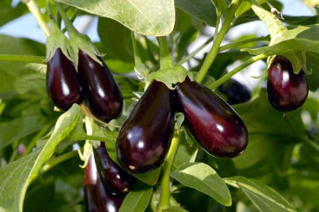 Выращивание баклажан: посадка и уход в открытом грунте