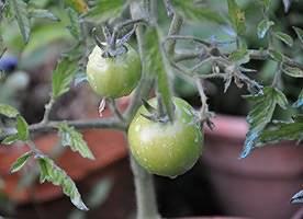 Использование медного купороса для томатов