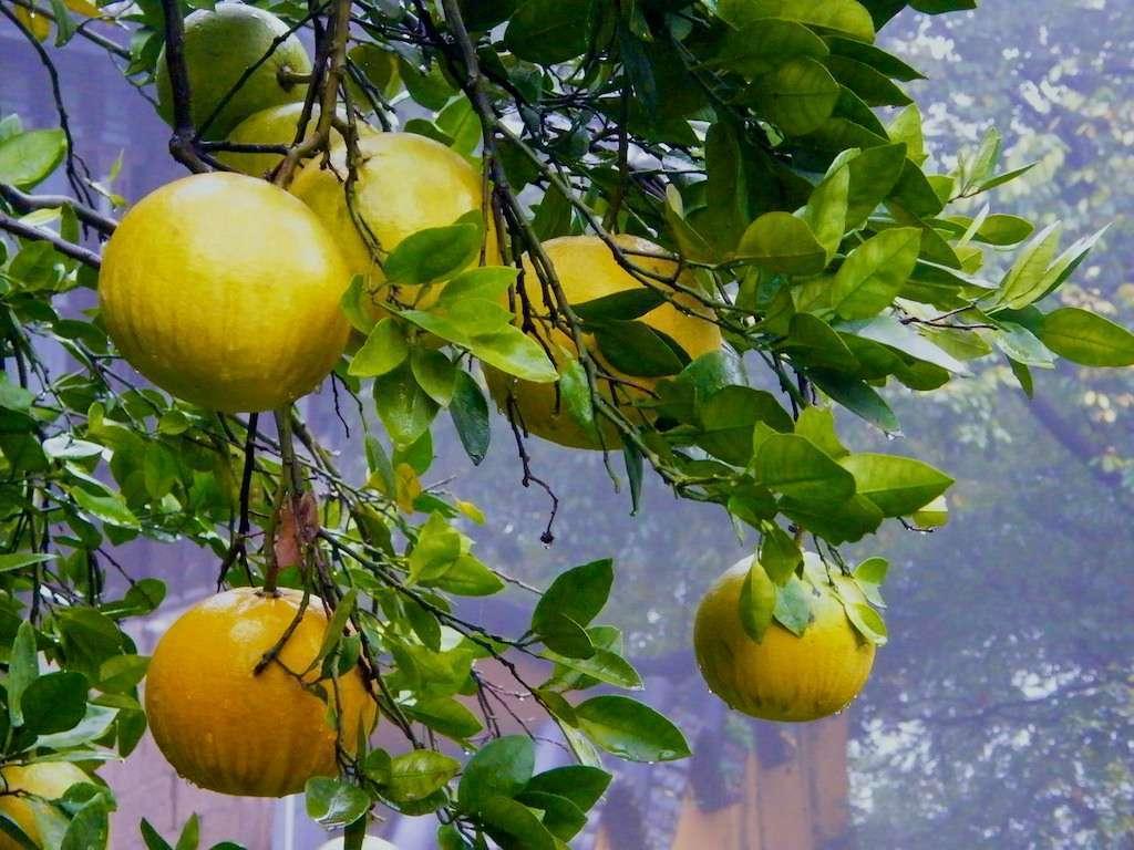 Желтый грейпфрут: как называется, описание, польза и вред, особенности приема