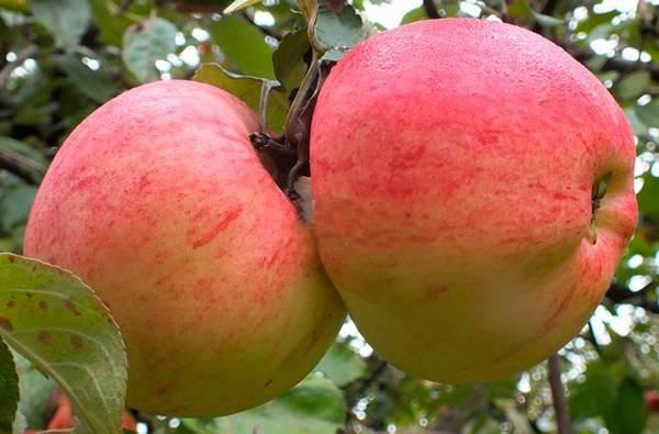 Описание сорта яблони память ульянищева: фото яблок, важные характеристики, урожайность с дерева