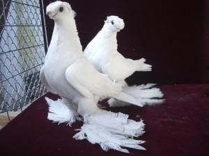 Особенности Узбекских двухчубых голубей