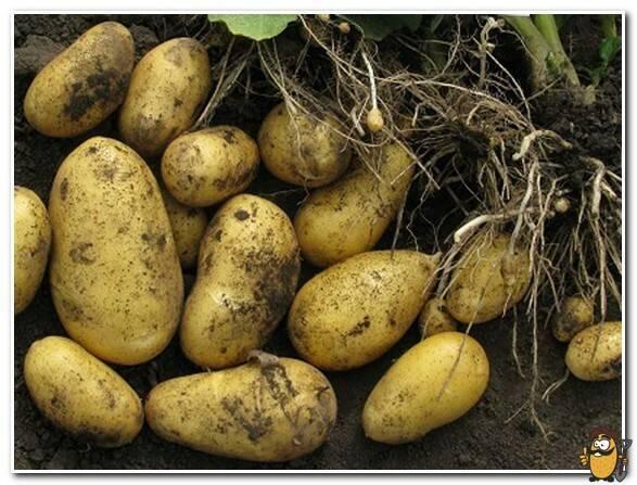Метеор: сверхранний высокоурожайный сорт картофеля