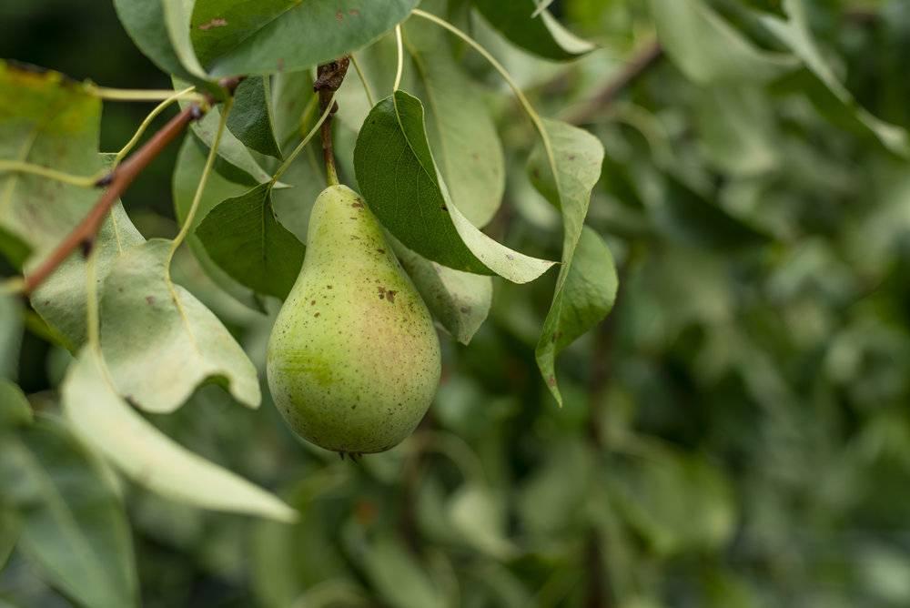 На какой год плодоносит груша после посадки?