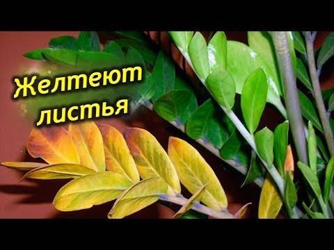 Почему желтеют листья у комнатных растений — причины
