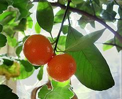 Как получить урожай апельсинов в квартире