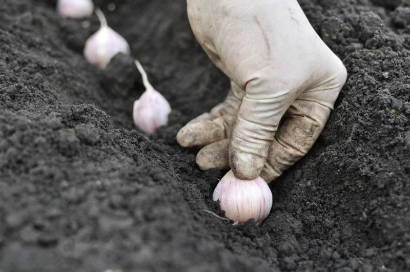 Когда в 2021 году выкапывать чеснок, посаженный под зиму, в подмосковье: благоприятные дни и способы хранения