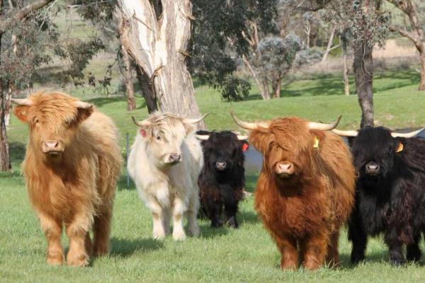 ᐉ шотландская корова (хайленд): характеристика, уход - zooon.ru