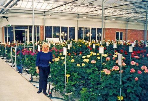 Садовые розы: посадка и уход, выращивание и размножение