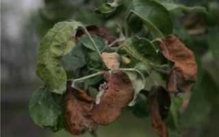 Ржавчина на листьях яблони – как бороться и описание заболевания с фото