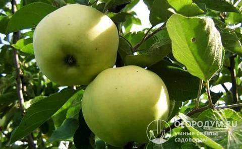 Яблоня папироянтарное: отзывы, описание, фото