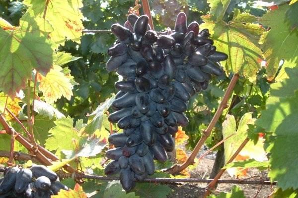 Описание винограда сорта сувенир