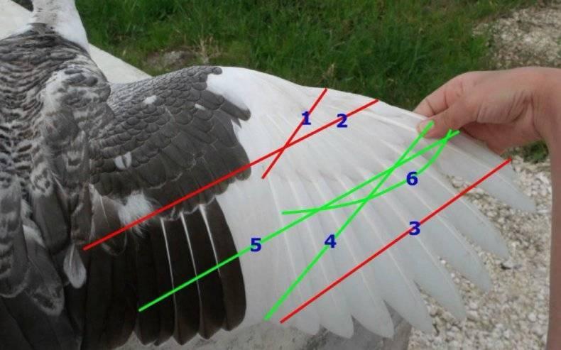Как подрезать мускусным, обычным и диким уткам крылья, нужно ли подрезать
