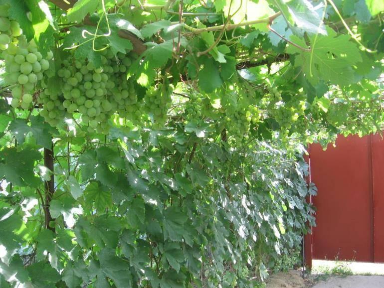 """Виноград """"триумф"""": описание сорта, фото, посадка и уход"""