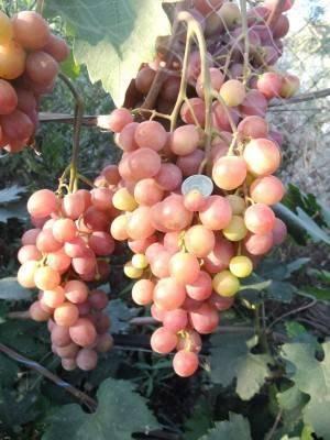 Виноград ранний гурман: описание сорта, фото, отзывы