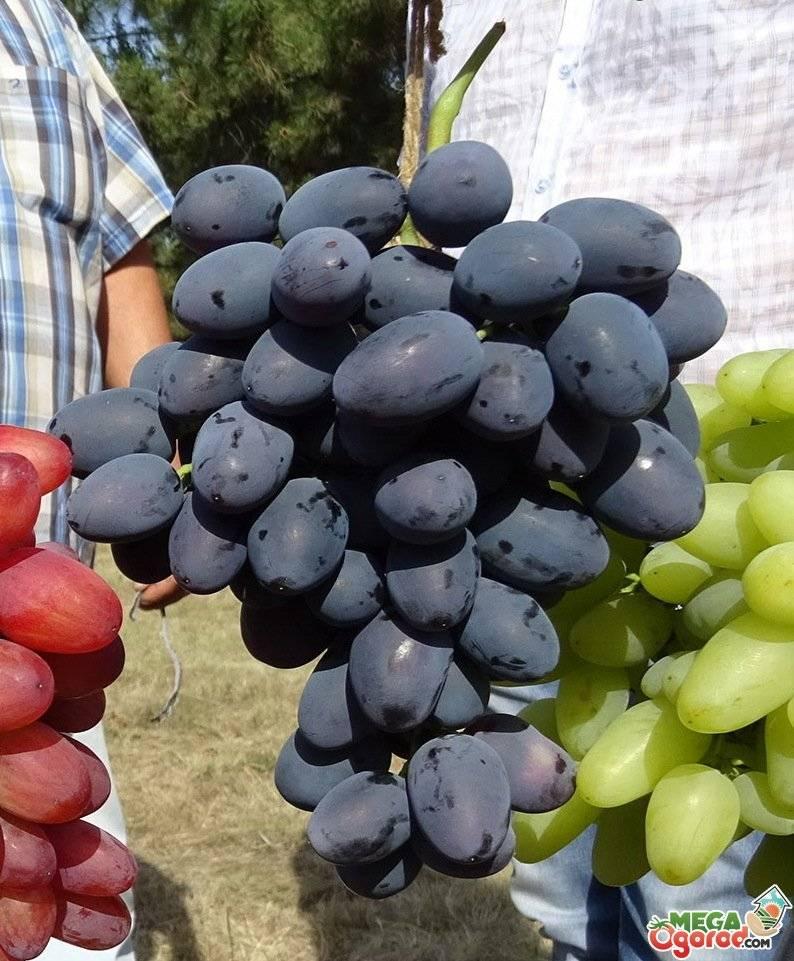 Виноград «кишмиш лучистый»: описание сорта, фото и отзывы