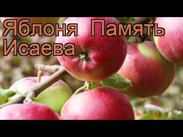 Сорт яблони памяти сюбаровой