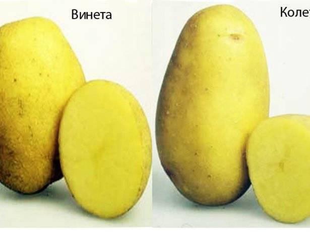 Картофель колетте: описание сорта, фото, отзывы