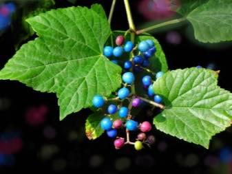 Виноградовник: аконитолистный, уссурийский, короткоцветоножковый