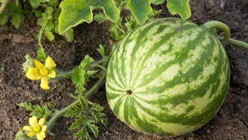 Выращивание арбузов на урале в теплице: фото, видео, особенности и лучшие сорта