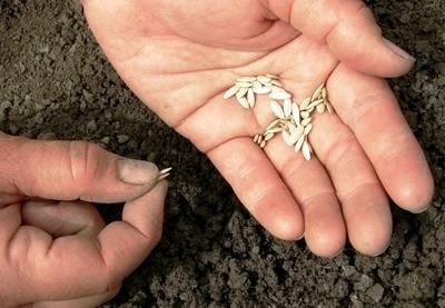 Выращивание огурцов в теплице из поликарбоната от а до я. когда и как сажать