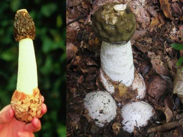 Целебный гриб веселка: лечебные свойства, инструкция по применению. настойка гриба веселка при онкологии и как ее приготовить