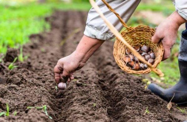 Озимая пшеница (21 фото): посев семенами и технология возделывания, болезни и вредители, когда сеют и убирают злак, тонкости выращивания