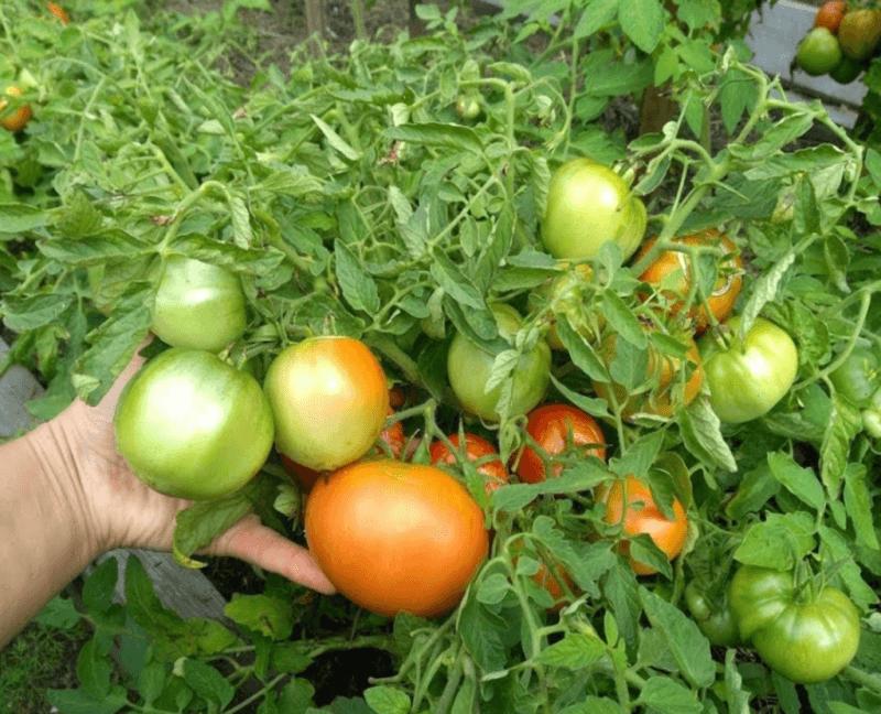 Сорт для ленивых — томат монгольский карлик