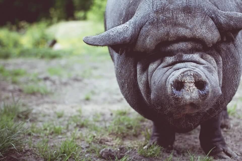 Свиноводство как бизнес: с чего начать, бизнес-план, рентабельность