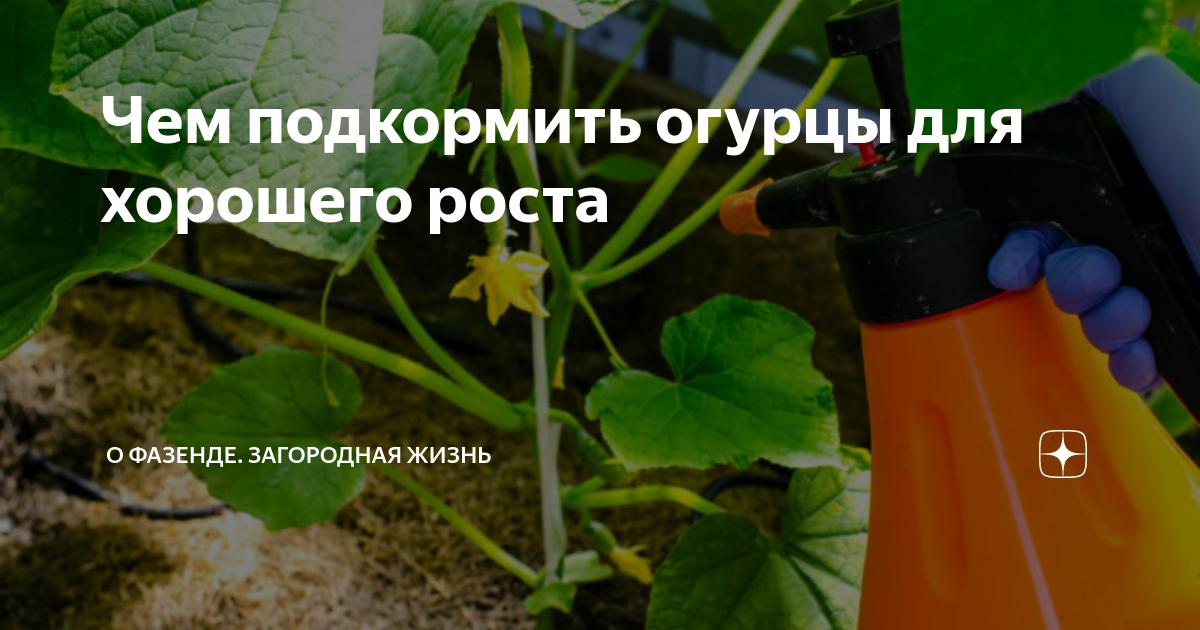 Подкормка огурцов от а до я — необходимые минеральные и органические удобрения