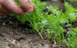 Как правильно проредить морковь в открытом грунте: сроки и пошаговое руководство