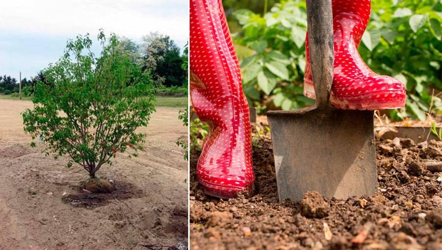 Ирга - посадка и уход в подробностях для садоводов-любителей
