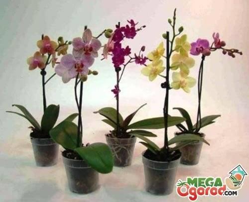 Орхидея фаленопсис: уход и выращивание | (110+ фото)