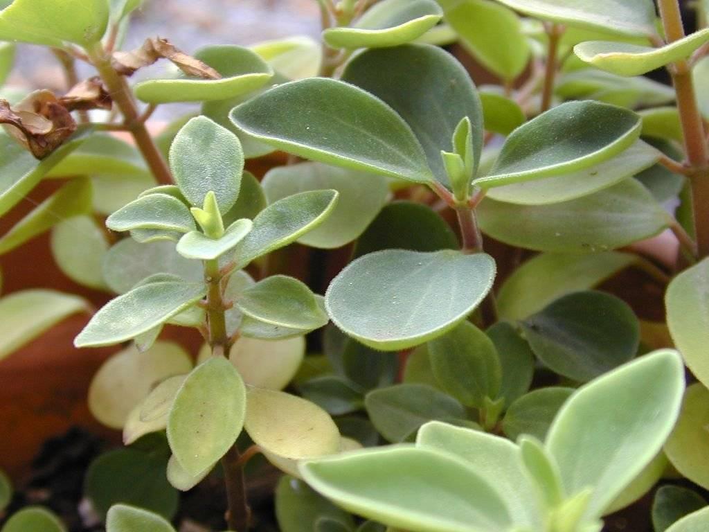 Пеперомия: описание, сорта, выращивание в домашних условиях