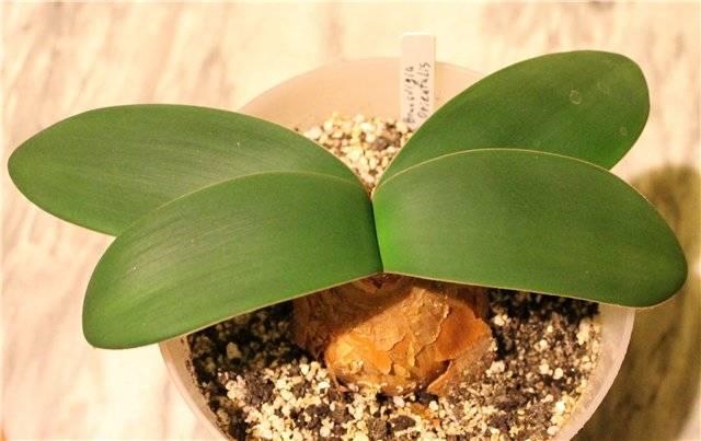 Луковичные комнатные растения: фото и названия, уход в домашних условиях
