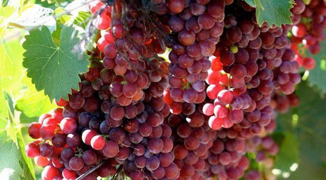 Виноград мускат гамбургский: описание сорта, фото