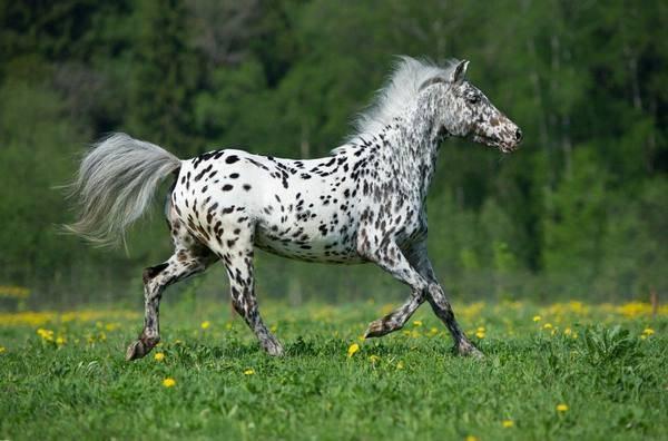 Исландский пони: описание породы и фото | мои лошадки