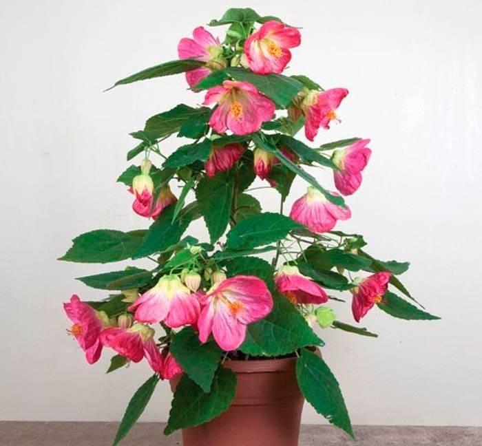 Абутилон фото и описание растения, популярные виды: гибридный, white king, мегапотамский, белла, органза.