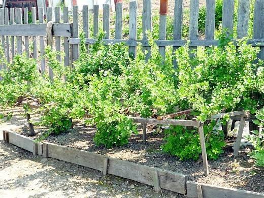 Крыжовник выращивание и уход, в том числе весной, а также основные этапы агротехники