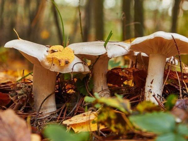 50 фото разных видов грибов серушки, ? названия, описания, как отличить